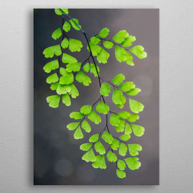 The bright, fresh green of this Maidenhair fern contrasts nicely against a gray background. Light bokeh effects dot the background.  metal poster