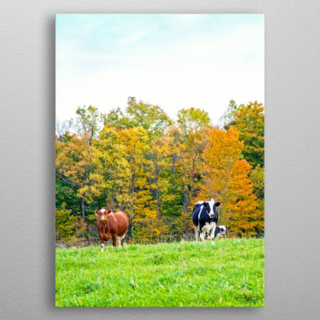 Two cows in a rural New York landscape with a background of trees in fall colors, Green grass lines the foreground.  metal poster