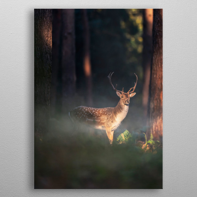 Fallow deer buck between ferns in misty forest at sunrise. metal poster