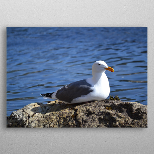 A seagull enjoying a moment in the sun. metal poster