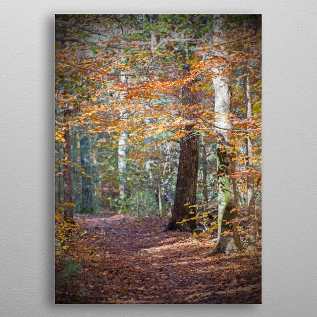 I hiked in this lovely forest on Thanksgiving day while the leaves on the trees were vibrant orange and rust. Sunlight dapples the ground. metal poster