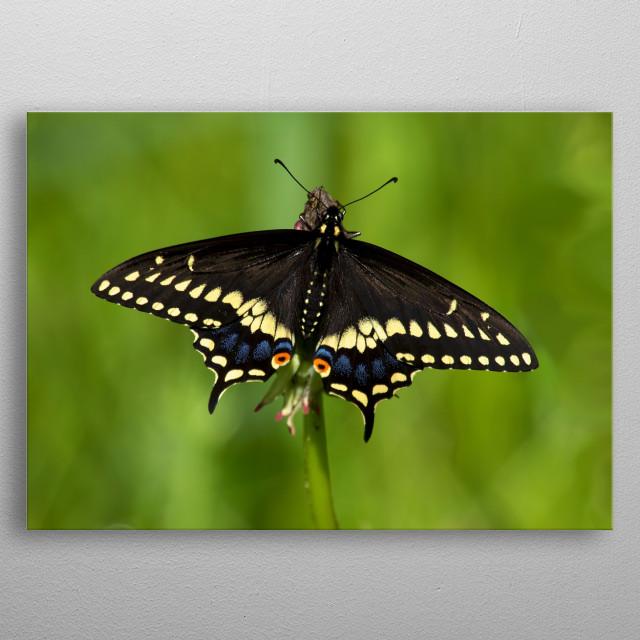 black swallowtail butterfly metal poster
