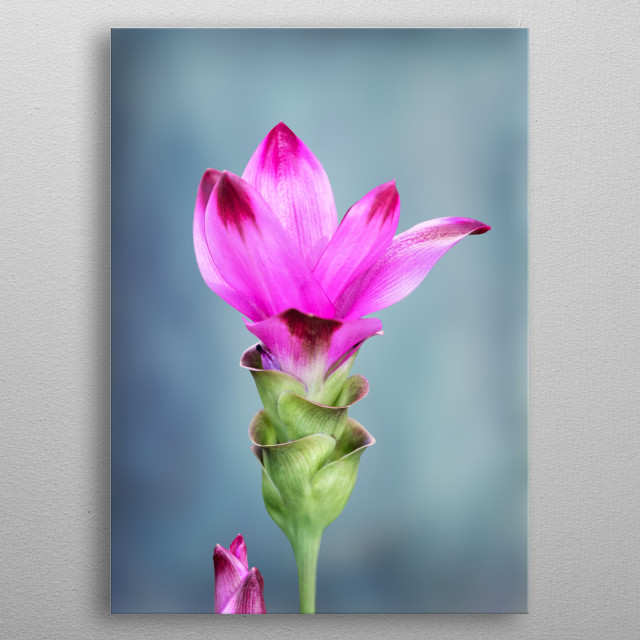 flower of the turmeric plant metal poster