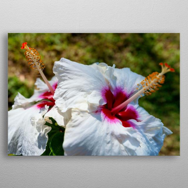 White Hibiscus Flower By Jonathan Wilkins Metal Posters Displate