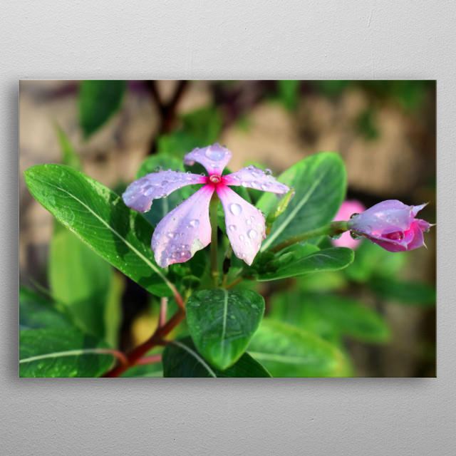 Madagascar Periwinkle Floral Poster Print | metal posters ...