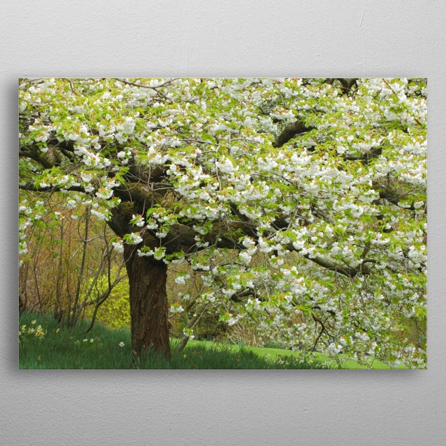 Beautiful little cherry blossom tree in Spring. metal poster