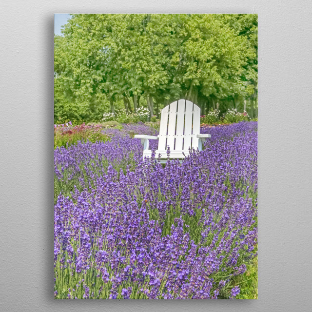 Fine art photo of a white chair in the middle of a field of lavender. Green trees line the background. See the honeybee hard at work?  metal poster
