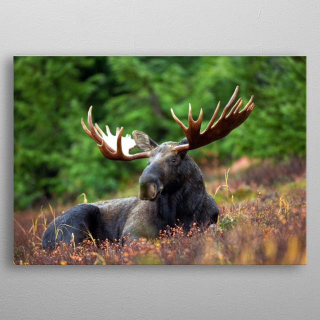 A close up shot of a bull moose with fully developed antlers. For life enthusiasts those love watching national geographic wild.  metal poster