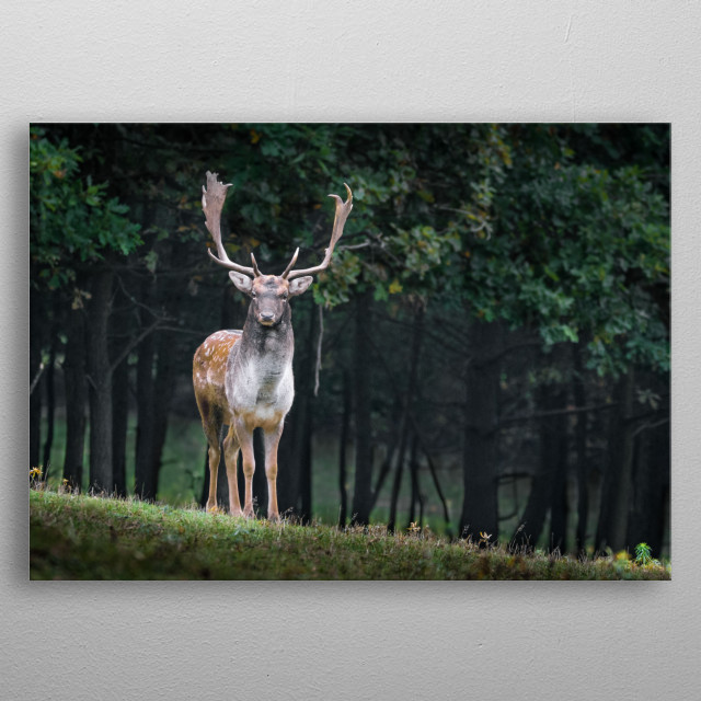 A stag on looking on the grassy plains.  metal poster