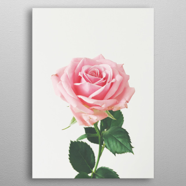 A still life photograph of a single pink rose. metal poster