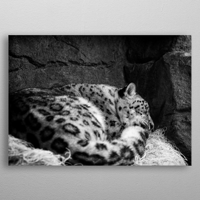 A black and white photography of a snow leopard taking a nap in the middle of the day metal poster