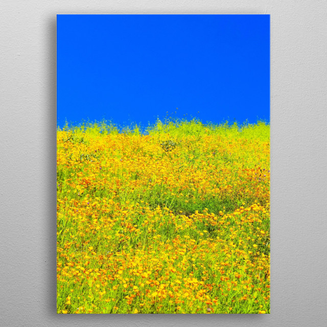 blooming yellow poppy flower field with blue sky metal poster