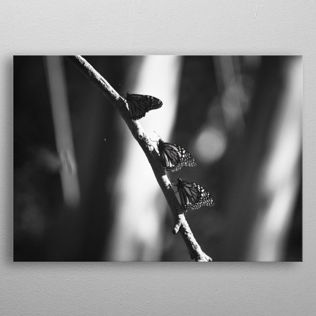 Group of monarch butterflies in the Monarch Butterfly Grove. metal poster