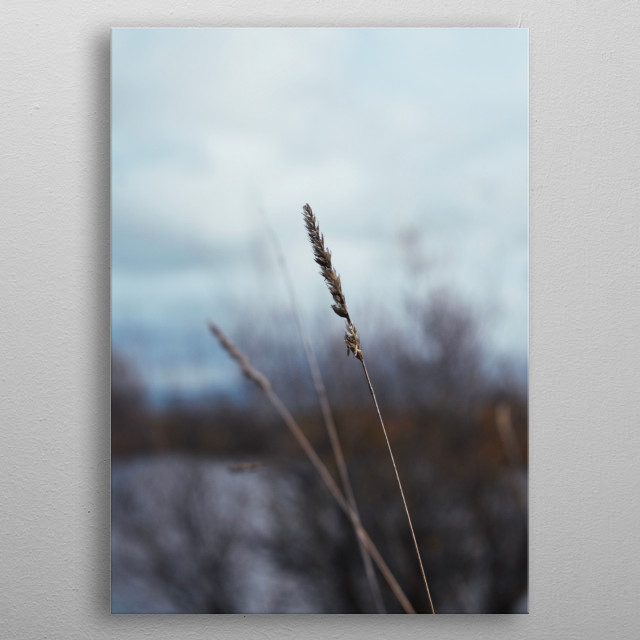 Beautiful wild grass along a pond. metal poster
