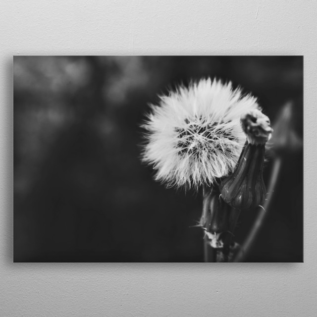 Black and white snapshot of a beautiful dandelion. metal poster