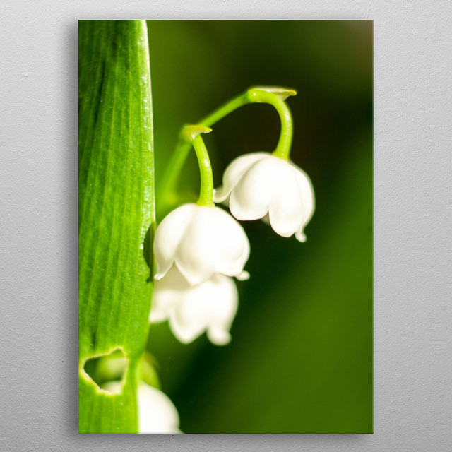 Tiny white flowers with green leaves. metal poster