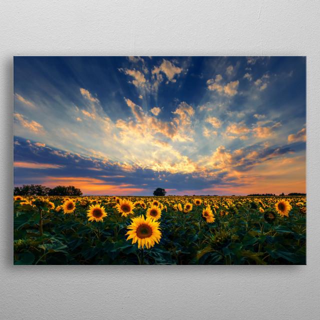 Sunflower field sunset. metal poster