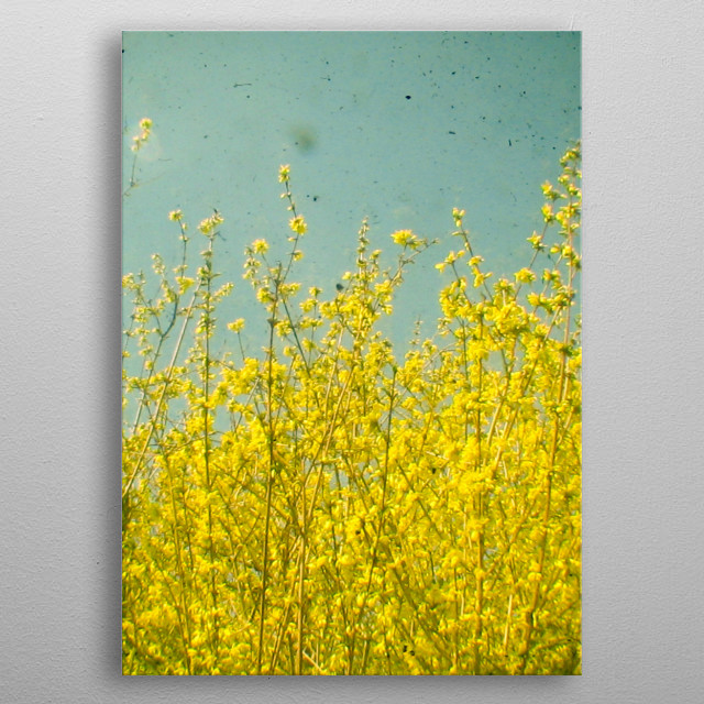 A photograph looking up through golden Forsythia. Taken using two cameras at the same time, a vintage Kodak Duaflex and a digital camera. metal poster
