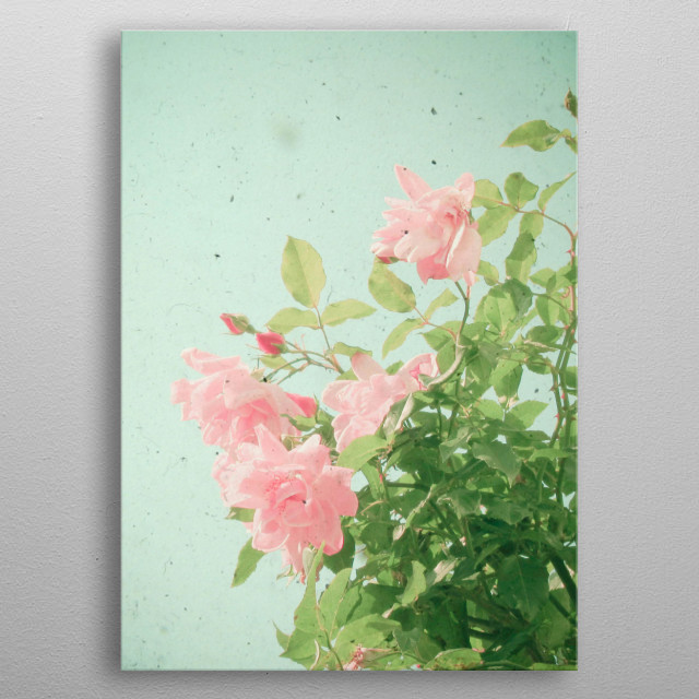 A photograph looking up through pink roses. Taken using two cameras at the same time, a vintage Kodak Duaflex and a digital camera. metal poster