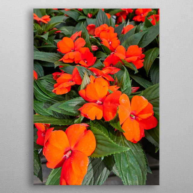 dipladenia mandevilla in bloom in spring metal poster