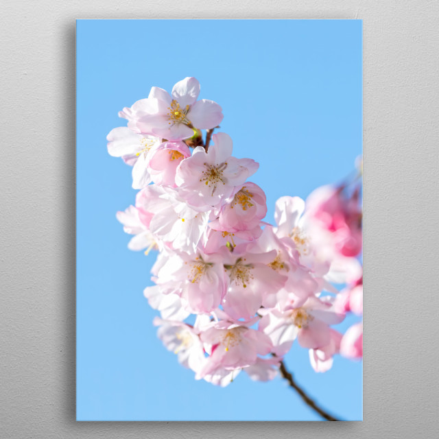 pink flower on the tree in spring metal poster