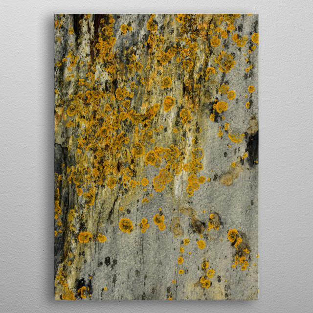 Photograph of lichen moss plant on a gray rock. metal poster
