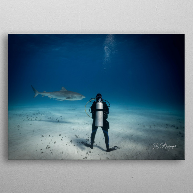 Tigerbeach Bahamas She stands firmly on the ground while a 4,5m long female tigershark is swimming gently past her. metal poster