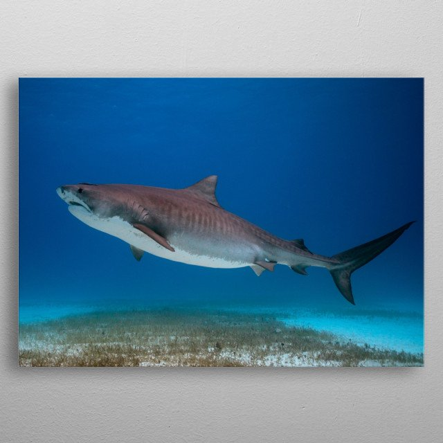 "Tigerbeach Bahamas - ""Little Pretty"" is one of the smaller tigersharks at Tigerbeach but a real beauty metal poster"