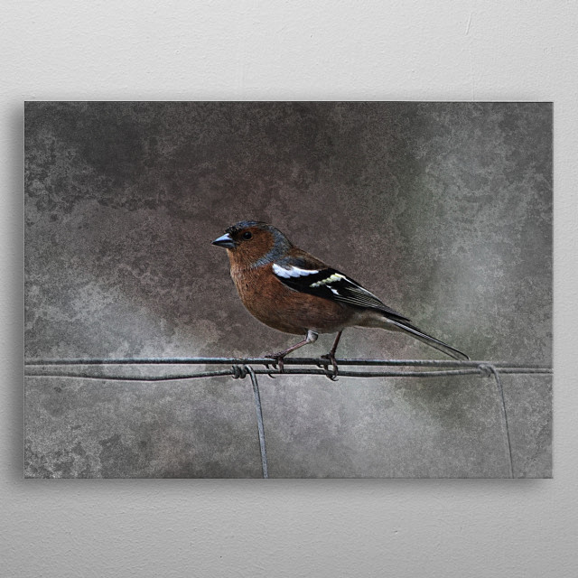 Beautiful back garden wildlife. A russet colored chaffinch sits on the fence waiting for some food. metal poster