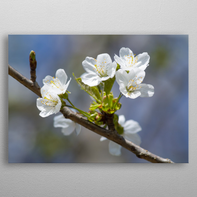 Flowers blooming on a cherry tree during the first days of spring.  metal poster