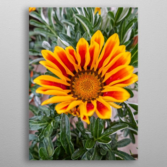 garzania flower in bloom in the garden in spring metal poster