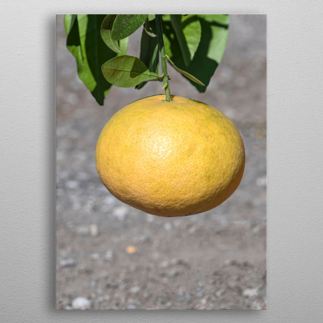 yellow lemon on tree metal poster