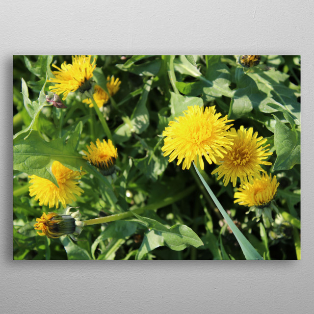 Beautiful Dandelion flowers on a sunny day.  metal poster