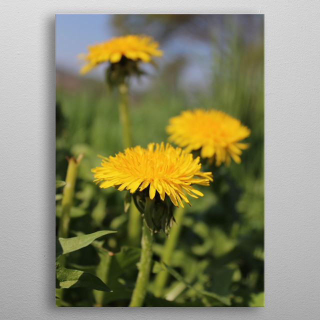 In spring they are first there to make our grass more colorful. Beautiful dandelion flowers.  metal poster