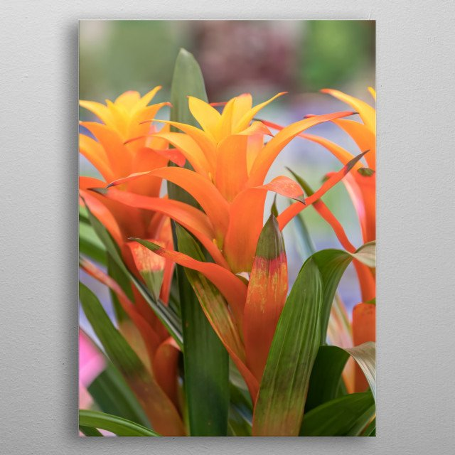 guzmania lingulata in the vase metal poster