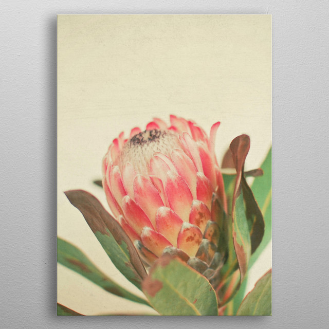 A still life photograph of a tropical Protea flower. metal poster