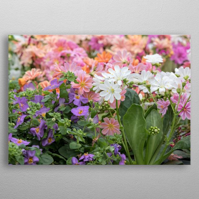 lewisia flower in bloom in the garden metal poster