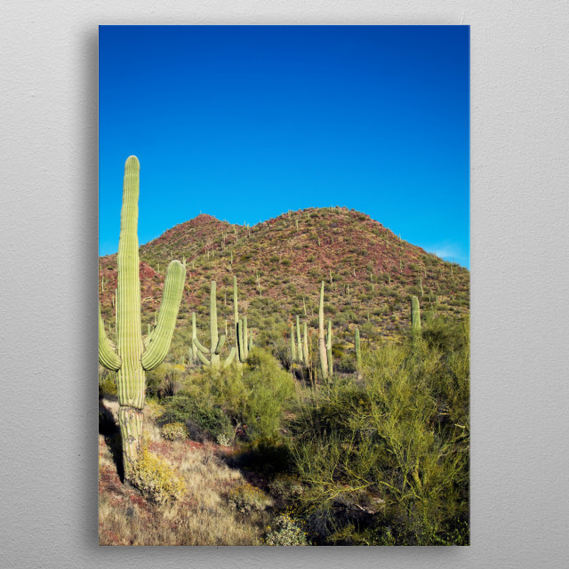 Saguaro Cactus near Tucson, Arizona  metal poster