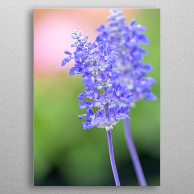 blue sage flower in bloom in spring metal poster