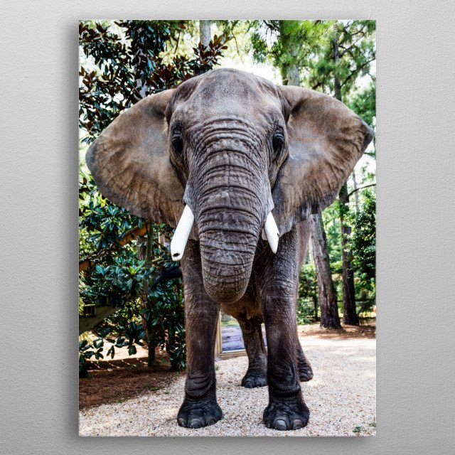 Bubbles the 9,000-pound African elephant at the Myrtle Beach Safari program  metal poster