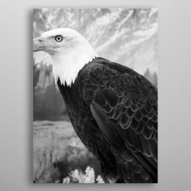 A young bald eagle surveys the world below in the vast Wyoming portion of Yellowstone National Park  metal poster
