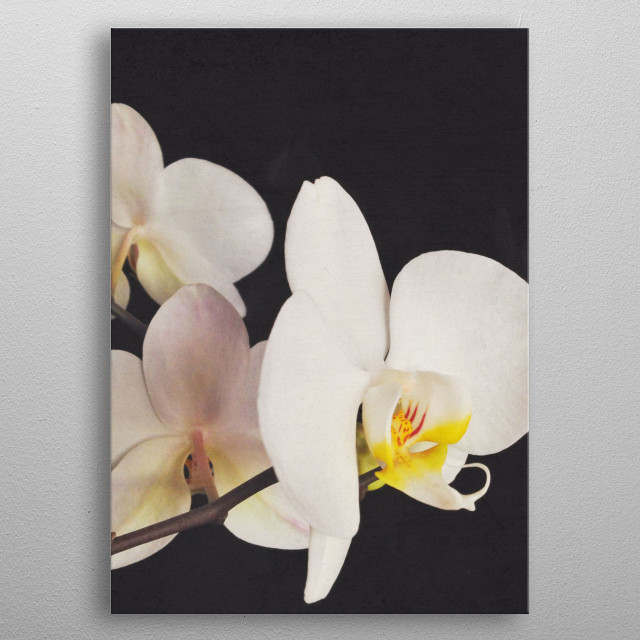 A bold still life photograph of a white orchid. metal poster