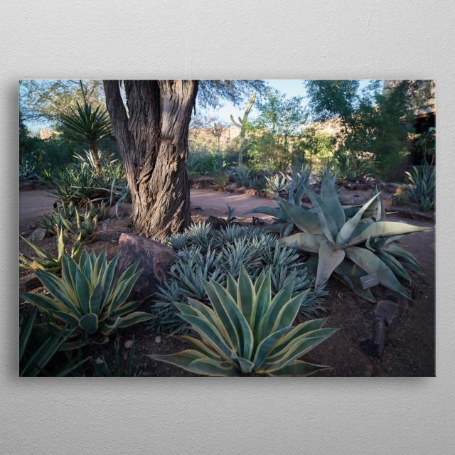 Cacti at the Desert Botanical Garden a 147-acre botanical preserve in Phoenix, Arizona  metal poster