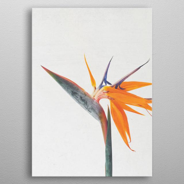A still life photograph of an exotic Bird of Paradise flower. metal poster