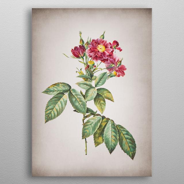 Vintage Boursault Rose - Vintage Botanical Illustration  metal poster
