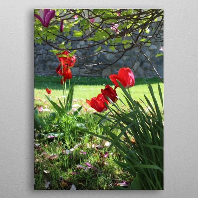 Beautiful red tulips flowers in the garden.  metal poster