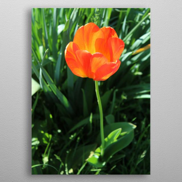 Beautiful blooming red - orange Tulip.  metal poster