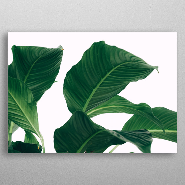 Photo of big leafed plant in front of white background metal poster