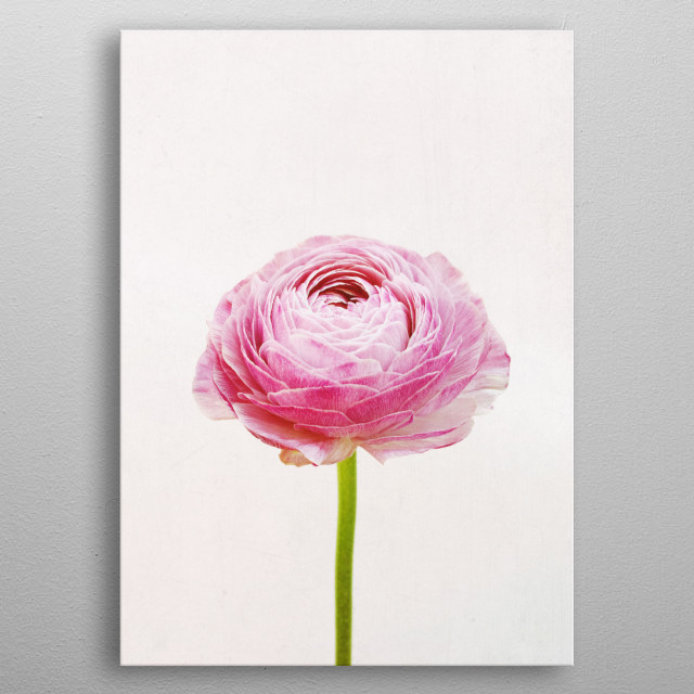 A minimal Ranunculus flower photograph in pastel colours. metal poster