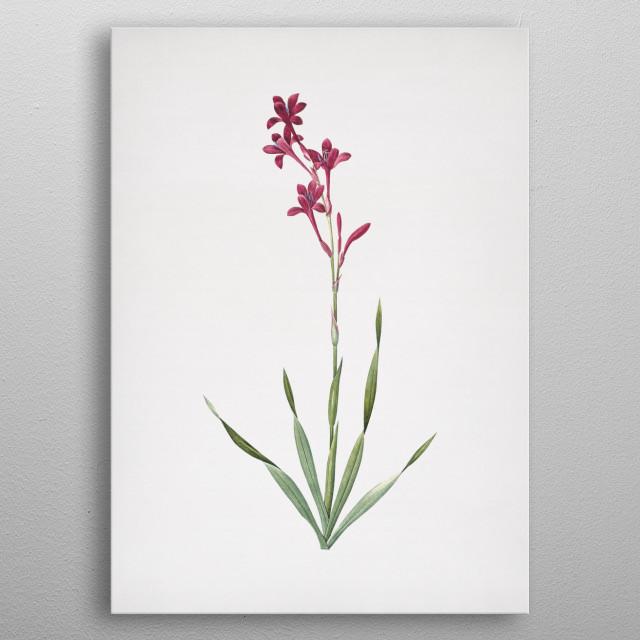 Vintage Botanical Illustration. High Res Scan From Original Engraving NYC Library. Digitally Enhanced.  metal poster